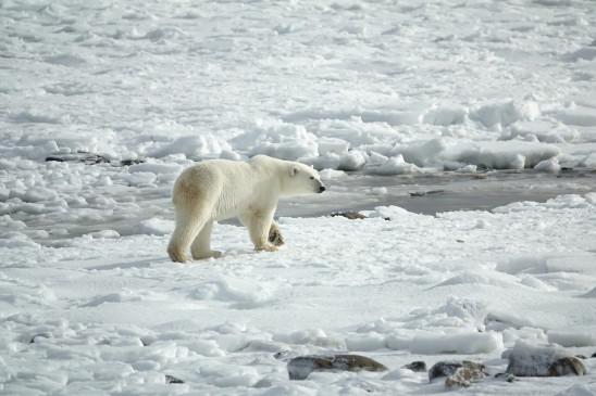 Sendungsbild: Auf Wiedersehen Eisbär!